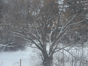 trees outlined with snow...