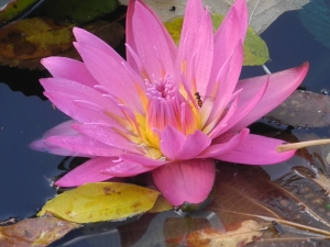 water lily and wasp at the park in 2011...