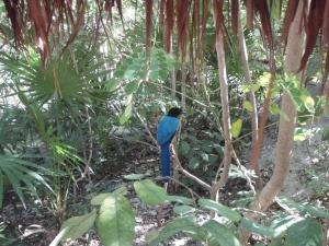 beautiful black and blue Yucatan Jay...