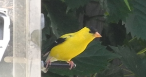 goldfinch at the feeder...