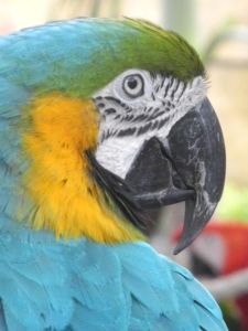 beautiful blue parrot looking right at me...