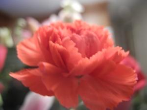carnation from Valentine bouquet...