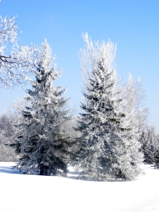 trees covered in hoarfrost...