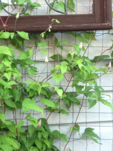 clematis ready to bloom...