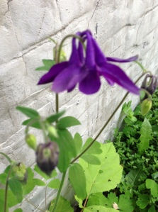 columbine in the side garden, blooming while the rest is taken over with weeds...