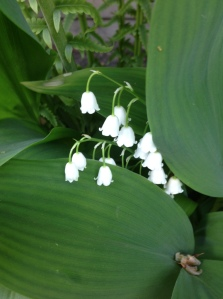 lily of the valley...