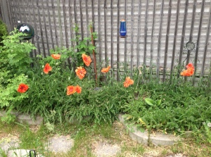 poppies blooming this morning...