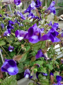 torenia, one of my favourites in a hanging basket, a bit of what will make them a bit happier...