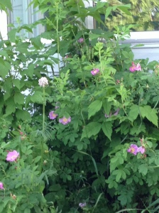 wild roses in front bed...