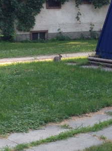 bunny we spotted on our walk to get dinner...