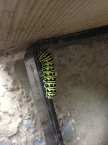 caterpillar hanging from the step this morning...