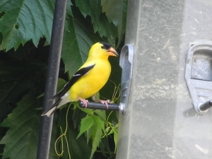 goldfinch boy...