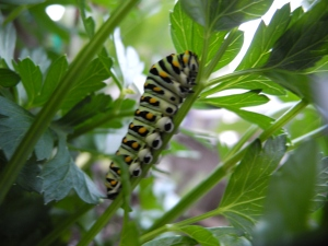swallowtail caterpillar eating the flat leafed parsley...