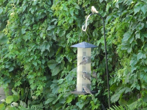 sparrows taking turns at the feeder...