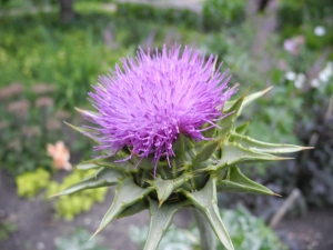 purple-y thistle...