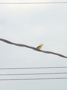 goldfinch singing away on  a wire just outside the back door...