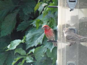 purple finch couple...