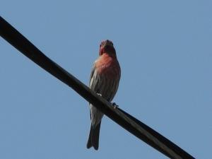 Purple Finch...