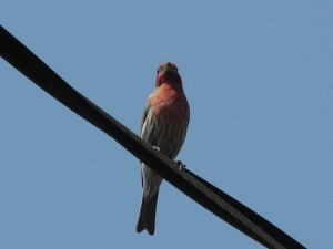 Purple Finch...