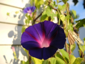 two of the purple morning glories...