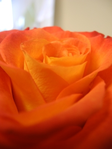 birthday rose...