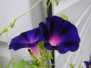 morning glories blooming close together..