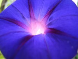 light shining through the beautiful purple morning glory...