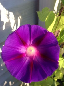 first morning glory this summer...