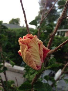 hibiscus bud early this morning...