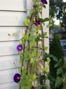 four of the morning glories...