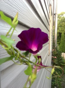 light shining through morning glory...