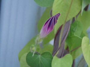 morning glory ready to bloom tomorrow...