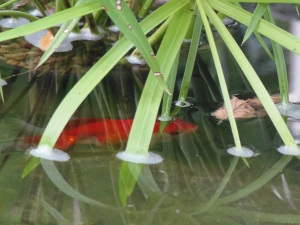 fish in the main part of the pond...