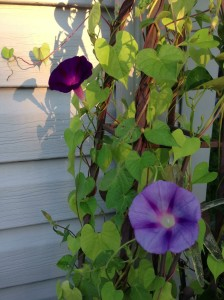 some of this morning's purple morning glories...