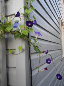 morning glories going around the corner of the house...