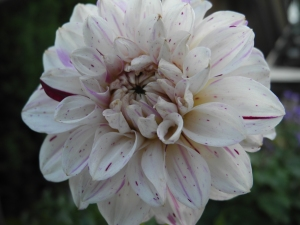 spotted dahlia... wonder what the real name is...