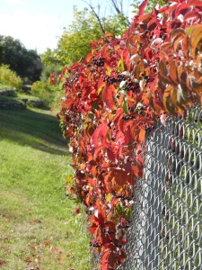 virginia creeper filled with berries and gone from green to red...