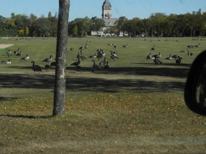 geese in the Park, September 2012...