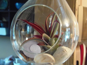 air plant turning red...