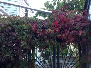 virginia creeper by the garage...