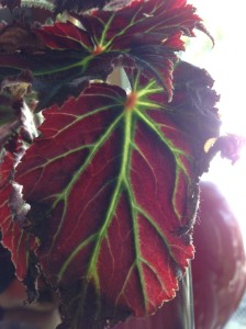 begonia in the kitchen this morning...