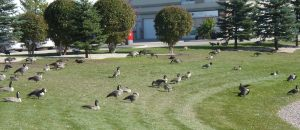 geese on the grass...