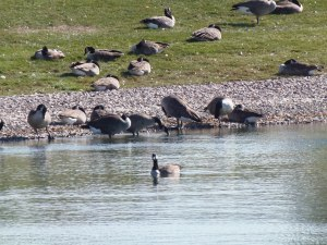geese at the edge and in the water...