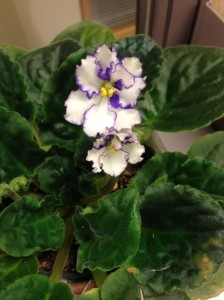 African Violet blooming...