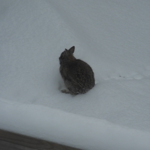 bunny whose been visiting the garden...