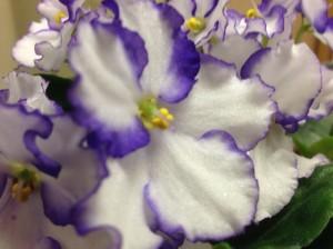 violets close up...