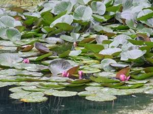 water lilies in Leo Mol garden...