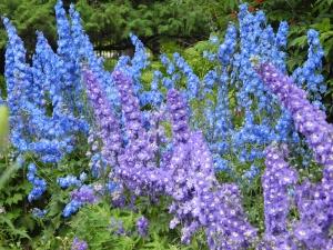 delphiniums in main garden...