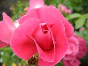 rose with rain drop...