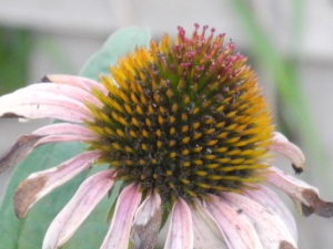 purple cone flower...